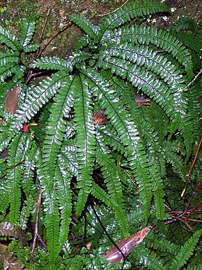 Description de l'image Adiantum Chatswood west.jpg.