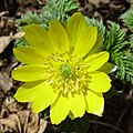 Adonis ramosa flower.jpg