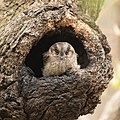 Aegotheles chrisoptus - Catlereigh Nature Reserve.jpg