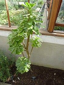 Aeonium korneliuslemsii (Crassulaceae) plant.jpg