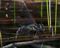 Aeshna juncea laying eggs.png