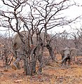 African Elephants (Loxodonta africana) female and young in dry Mopane forest ... (33165784015).jpg