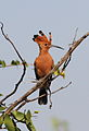 African Hoopoe, Upupa africana (Upupa epops) at Mapungubwe National Park, Limpopo, South Africa (18167794300).jpg