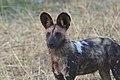 African Wild Dog (Lycaon pictus pictus) (21675179136).jpg