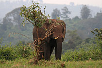 African elephant in Aberdare NP.JPG