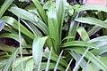 Agapanthus praecox orientalis 0zz.jpg