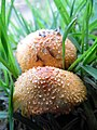 Agaricus crocopeplus Berkeley & Broom 606552.jpg