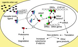 Aryl hydrocarbon receptor - Image: Ah R Signaling colour