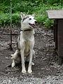 Alaskan Husky.jpg
