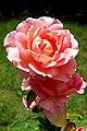 Albania-02694 Albanian Rose.jpg