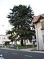 Albero secolare a destra della facciata della chiesa parrocchiale di Trecenta 02.jpg