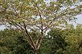 Albizia lebbeck (Siris) in Hyderabad W IMG 7168.jpg