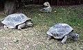 Aldabra mating 10.JPG