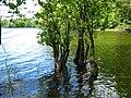 Alder in lake.jpg