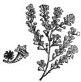 Alger, Turbinaria gracilis, Nordisk familjebok.png