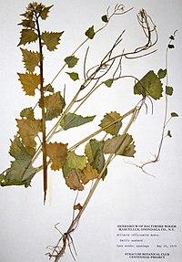 Alliaria petiolata BW-1979-0529-0025.jpg