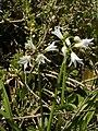 Allium triquetrum (flowers).jpg