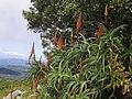 Aloe arborescens - Gorongosa 2 (10238105714).jpg