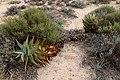 Aloe perfoliata subsp. mitriformis (Asphodelaceae-Xanthorrhoeaceae) (36689661933).jpg