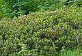 Alpenrose (Rhododendron ferrugineum) (9137159818).jpg