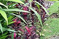 Alpinia nutans 2zz.jpg