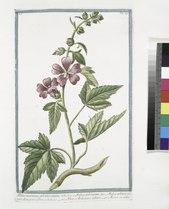 Althæa maritima, arborea veneta - Malva arborescens - Malva arborea veneta dicta, parvo flore - Altea, o Malvavisco arboreo - Mauve en arbre (NYPL b14444147-1124975).tiff