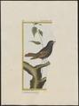 Amadina fimbriata - 1700-1880 - Print - Iconographia Zoologica - Special Collections University of Amsterdam - UBA01 IZ15900165.tif