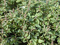Amaranthus.viridis1web.jpg