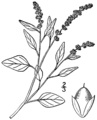 Amaranthus deflexus BB-1913.png