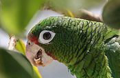 Amazona vittata -Iguaca Aviary, Puerto Rica-8a (2).jpg