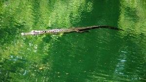 File:American alligator in the Hillsborough River, Florida.webm
