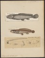 Amia calva - 1700-1880 - Print - Iconographia Zoologica - Special Collections University of Amsterdam - UBA01 IZ14400001.tif