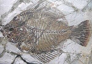 Flatfish - Fossil of Amphistium