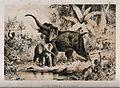 An elephant and her calf ambushed by African tribesmen with Wellcome V0018851.jpg