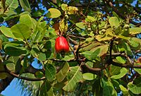 A. occidentale, cashew