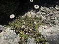 Anaphalioides bellidioides 11.JPG