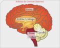 Anatomie grossière du cerveau.png