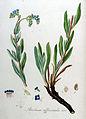 Anchusa officinalis — Flora Batava — Volume v9.jpg