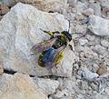 Andrena , Melandrena or Nobandrena species - Flickr - gailhampshire.jpg