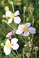 Anemone hupehensis Splendens 2zz.jpg
