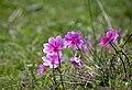 Anemone pavonina (32907659954).jpg