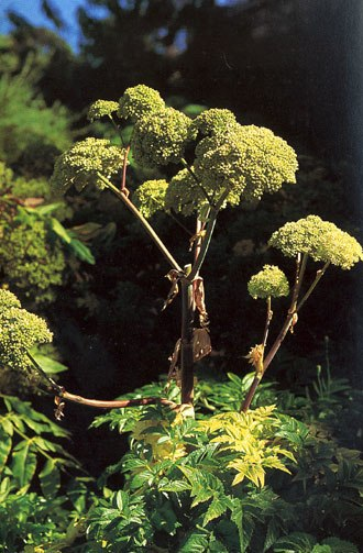 Apiaceae - Image: Angelica archangelica (1118596627)
