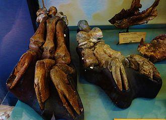 Anisodon - Foot bones