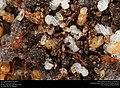 Ant pupae (Pheidole floridana) (28347085118).jpg