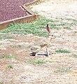 AntelopeJackrabbitAug06.jpg