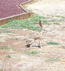 Antelope Jackrabbit - Wikipedia, the free encyclopedia