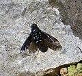 Anthrax anthrax Bombyliidae (40117323972).jpg