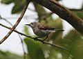 Anthreptes gabonicus (Nectariniidae) (Mangrove Sunbird) - (adult), Axim, Ghana.jpg