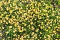 Anthyllis vulneraria in Haute-Savoie.jpg