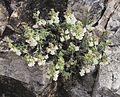 Antirrhinum pulverulentum 20160510 a.jpg